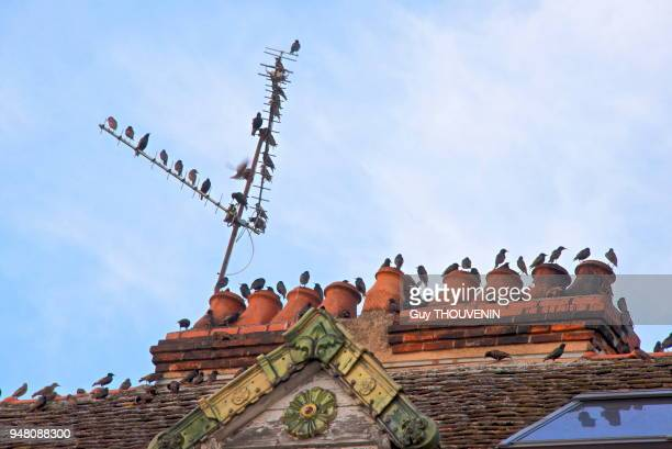 Oiseaux nichés sur une antenne et cheminée d'une maison