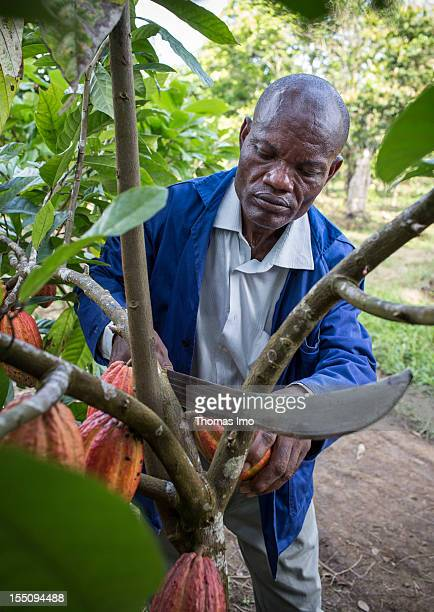 Ojong James a cocoa grower uses a machete to cut a cocoa fruit from a tree while German Development Minister Dirk Niebel visits the cocoa plantation...