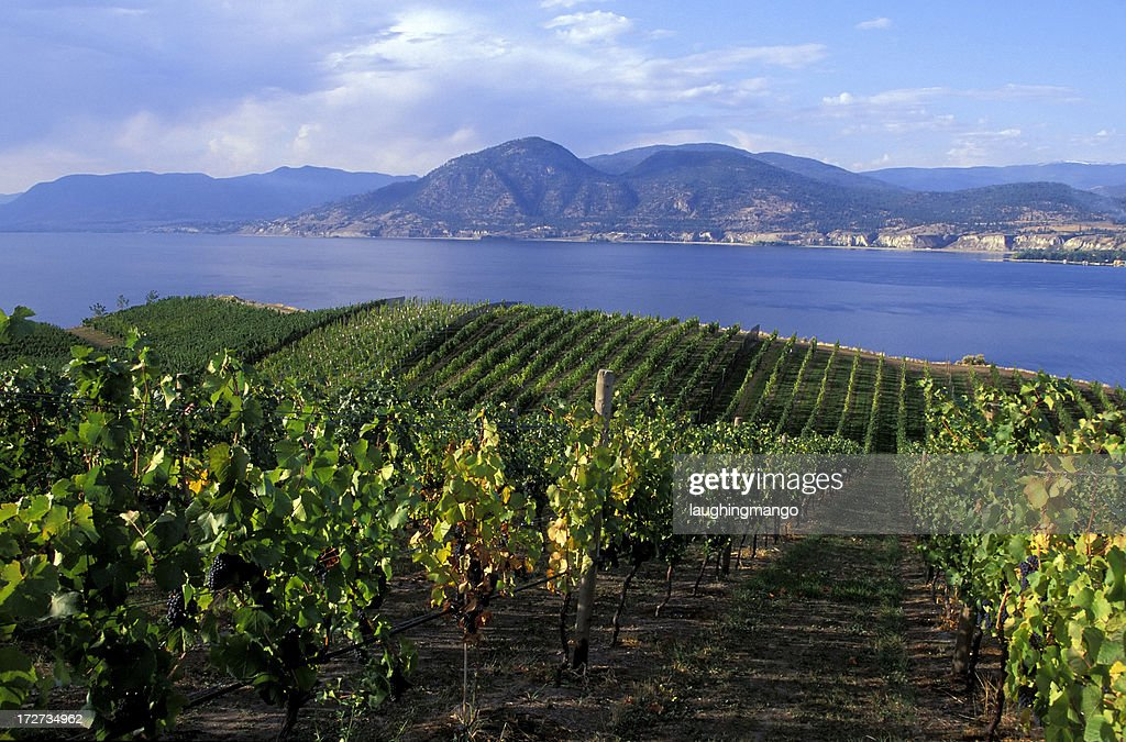 okanagan valley vineyard : Stock Photo