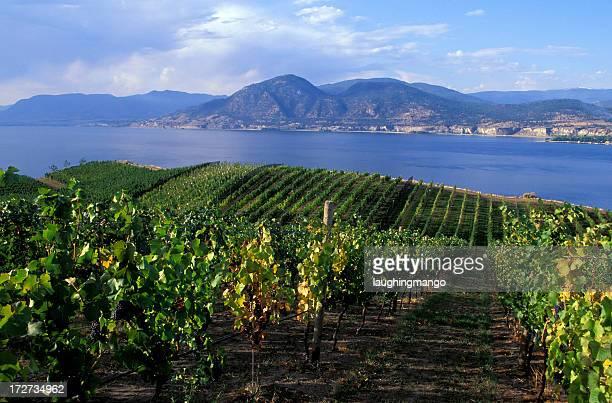 okanagan valley vineyard - cabernet sauvignon grape - fotografias e filmes do acervo