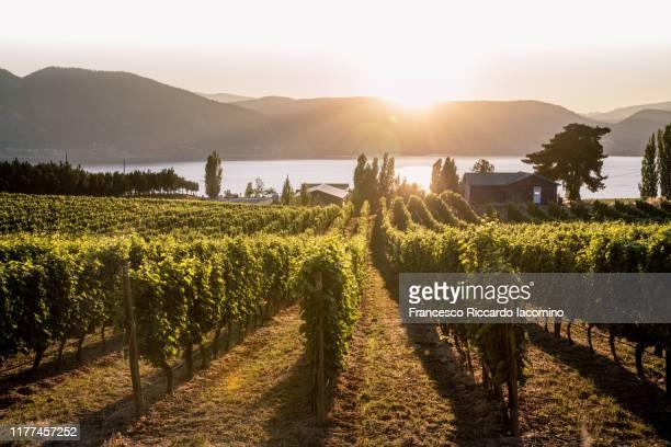 okanagan valley, vineyards at sunset before harvesting. british columbia, canada - thompson okanagan region british columbia stock pictures, royalty-free photos & images