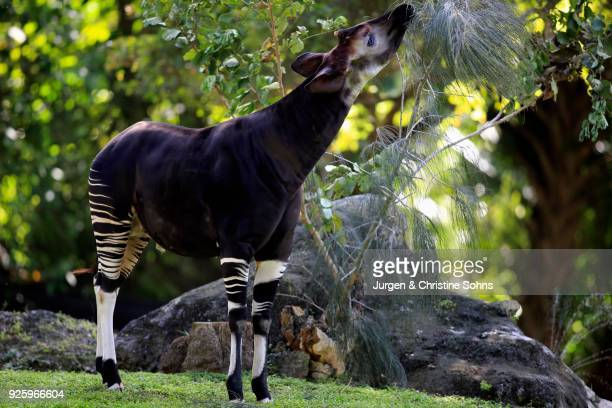 okapi (okapia johnstoni), adult-eating, occurrence in africa, captive - okapi stock pictures, royalty-free photos & images
