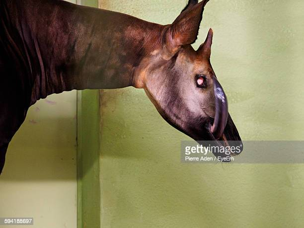 okapi against wall - okapi stock pictures, royalty-free photos & images