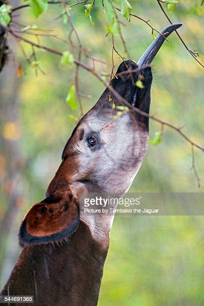 okapi catching leaves - okapi stock pictures, royalty-free photos & images