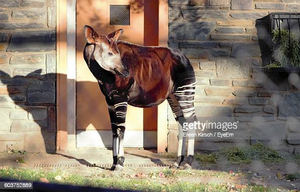 okapi outside house - eileen kirsch stock pictures, royalty-free photos & images
