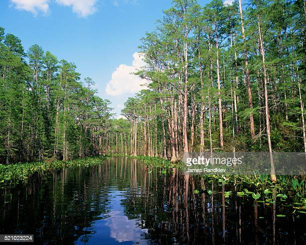 okefenokee swamp - bald cypress tree stock pictures, royalty-free photos & images