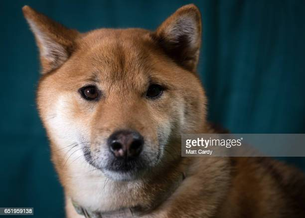 Oki a Japanese Shiba Inu dog poses for a photograph on the second day of Crufts Dog Show at the NEC Arena on March 10 2017 in Birmingham England...