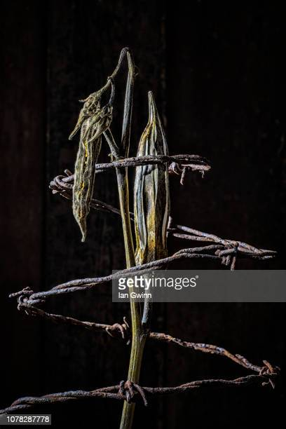 okra and barbed wire - ian gwinn - fotografias e filmes do acervo