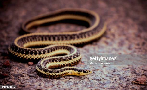 'ol sneaky snake - garter snake stock pictures, royalty-free photos & images