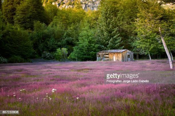 old abandoned cabin next to a purple wild flowers field in los leones valley. - niet gecultiveerd stockfoto's en -beelden