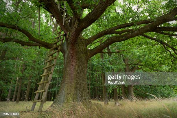 Old and big oak tree with a wooden ladder