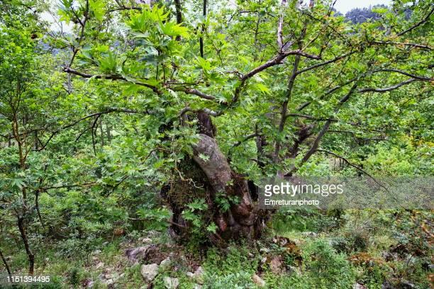 old and huge plane tree trunk near lake kovada,isparta. - emreturanphoto ストックフォトと画像