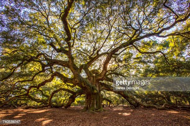 Old angel oak (Quercus virginiana), Charleston, South Carolina, USA