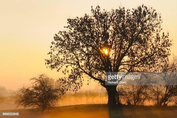 Old Ash tree (Fraxinus excelsior) at sunrise, ground fog, Rheinberg, Niederrhein, North Rhine-Westphalia, Germany