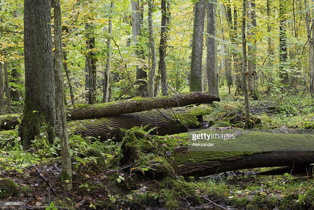 Old ash trees broken lying in fall : Stockfoto