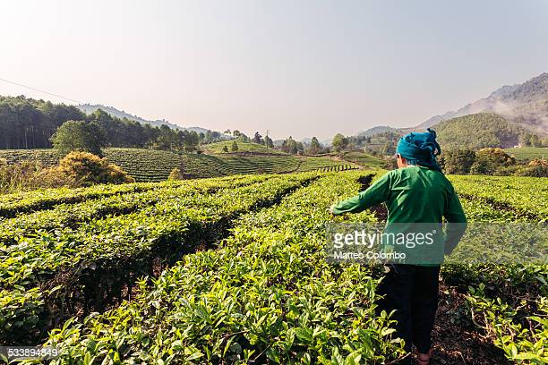 Old asian woman picking up green tea, Vietnam