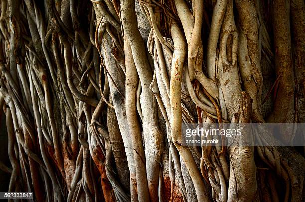 old banyan tree (ficus benghalensis), india - banyan tree stock pictures, royalty-free photos & images