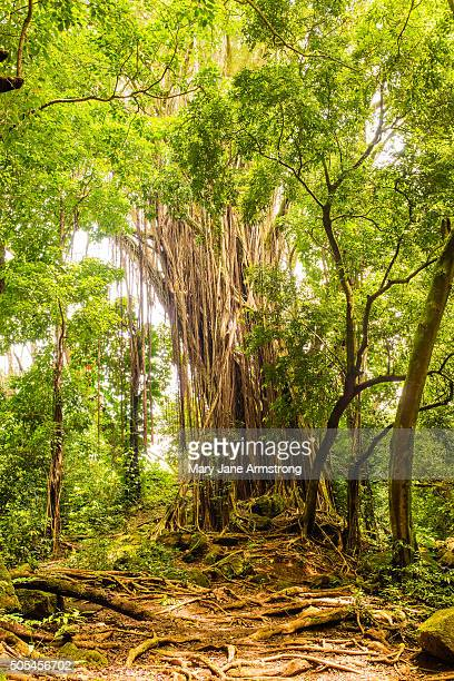 Old Banyan Tree
