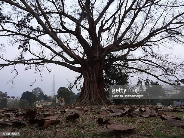 a old banyan tree - banyan tree stock photos and pictures