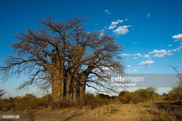 Old Baobab tree near Lake Burunge Camp in Tanzania