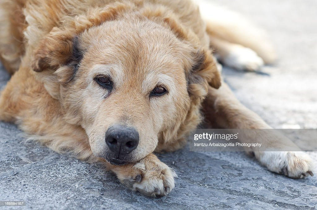 Old basque shepherd dog lying : Stock Photo