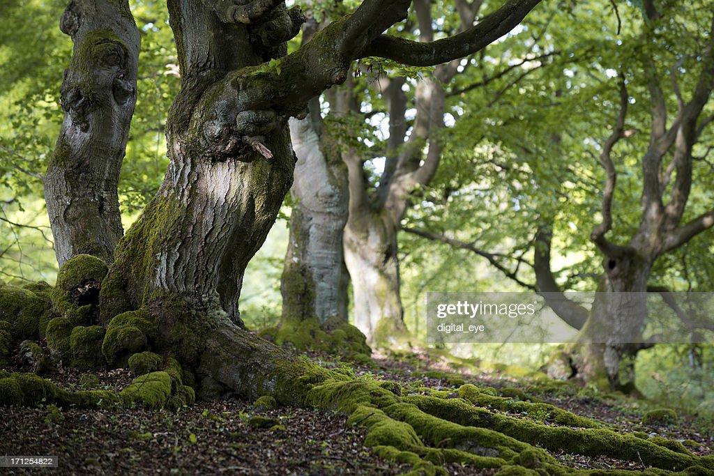 old Buche Wald im Frühling : Stock-Foto
