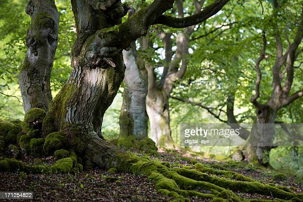 old beech forest in spring