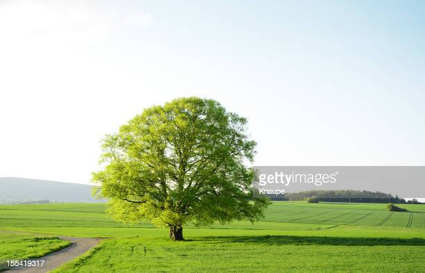 Old Beech Tree  during spring in green fields