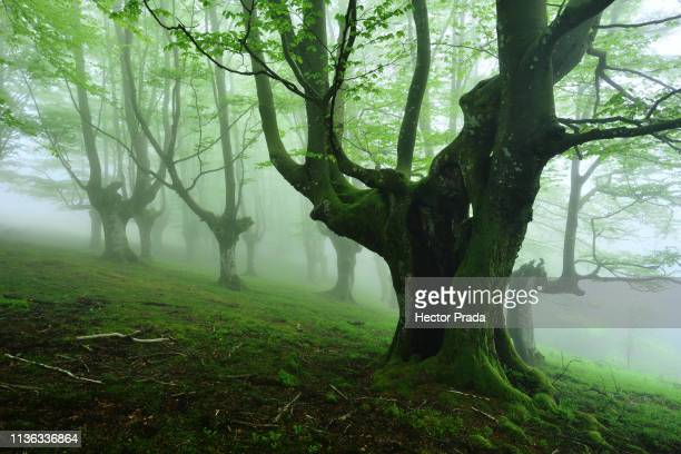 old beech tree in spring foggy morning - vitoria spain stock pictures, royalty-free photos & images