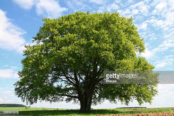 old beech tree in summer - tree stock pictures, royalty-free photos & images