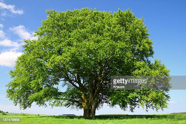 Old Beech Tree in Summer