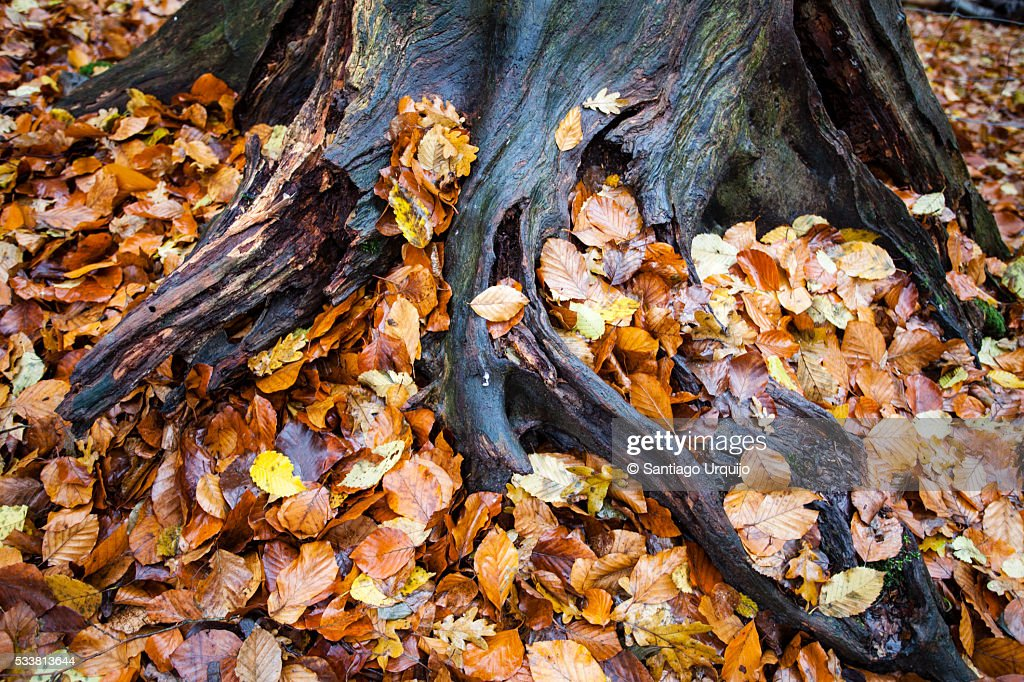 Old beech tree trunk and roots : Foto stock