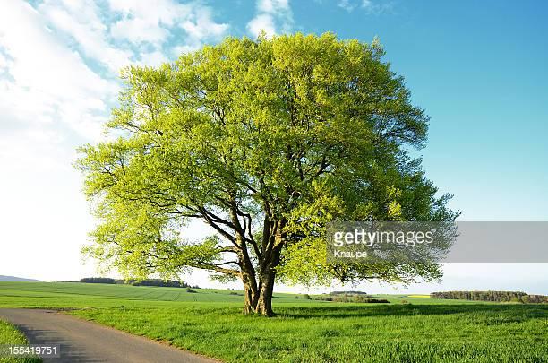 旧ブナノキに新しい葉春のフィールド