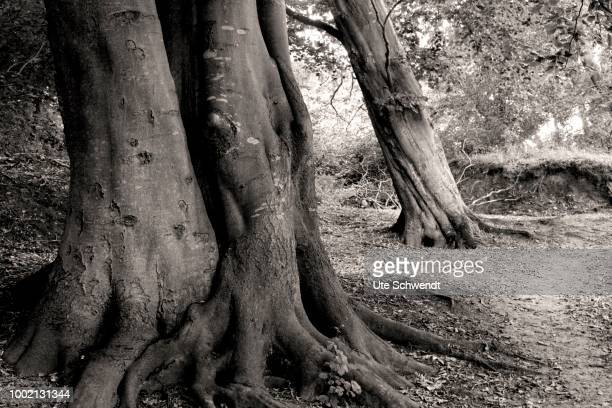 Old beech trees, black and white, Dornbusch Forest, Hiddensee, Mecklenburg-Western Pomerania, Germany