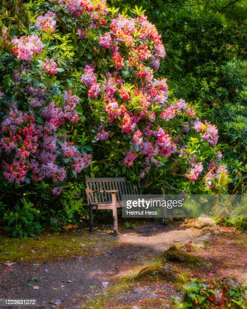 old bench with rododendron in minterne garden - bench stock pictures, royalty-free photos & images