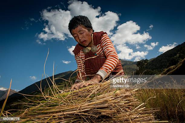 CONTENT] A old Bhutanese women working in the countryside on a sunny day gathers the hay in the fields She is wearing the traditional female dress...