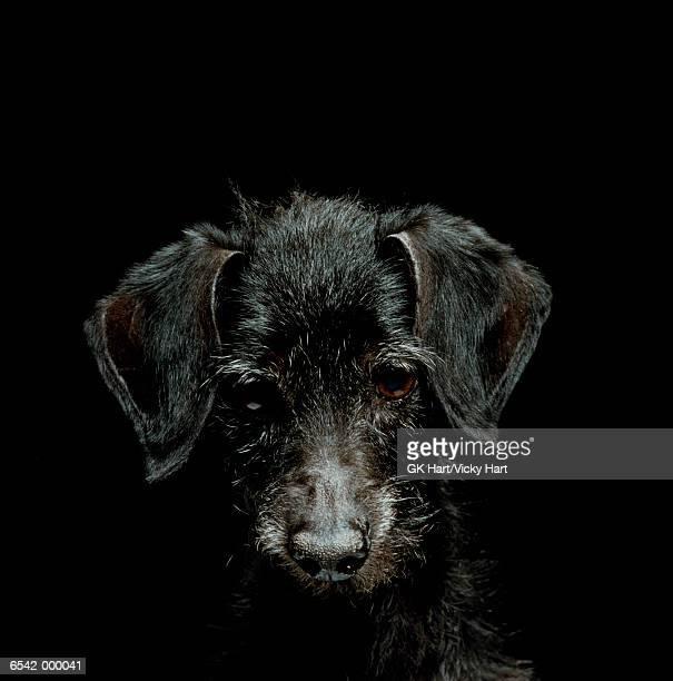 Old Black Dog Looking Down