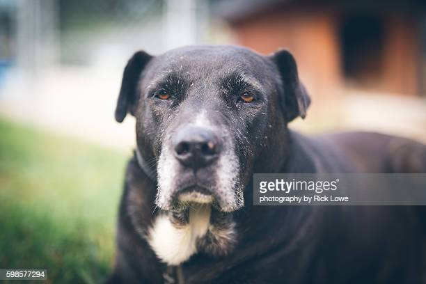 old black dog - american pit bull terrier stock pictures, royalty-free photos & images
