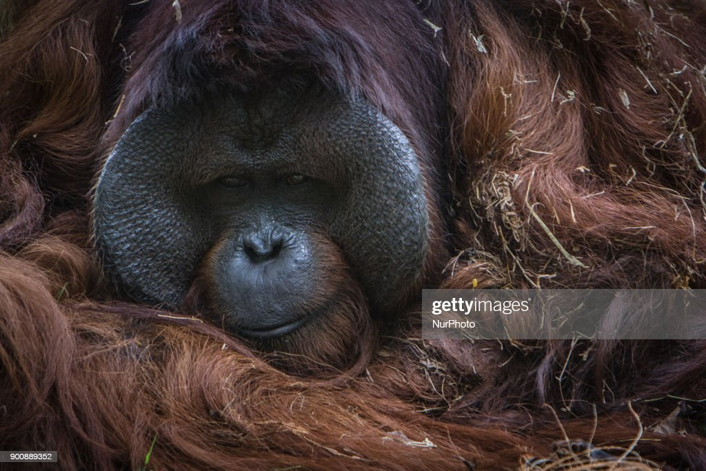 Old Borneo Orangutan in Jakarta, Indonesia on January 03, 2018. The Sumatran Orangutan Conservation Programme (SOCP) is working hard to build an Orangutan Haven in North Sumatra to accommodate disabled orangutans and orangutans that cannot be released to their natural habitat. Beginning construction four years ago with a US$2 million budget, the 48-hectare facility in Sibolangit, Deli Serdang regency, is expected to be ready by early 2019 to give long-term protection and provide improved living conditions for the disabled and unreleasable arboreal mammals. Five orangutans, including a female, will be placed in the facility by the end of 2018,, which will be open for public visits. The ve could not be released to their natural habitat as they no longer have the ability to survive in the wild, posing a risk to themselves as well as other populations. Nine artificial islands measuring between 600 and 800 square meters are being prepared by the SOCP in the Orangutan Haven, which is the first such facility in the world.