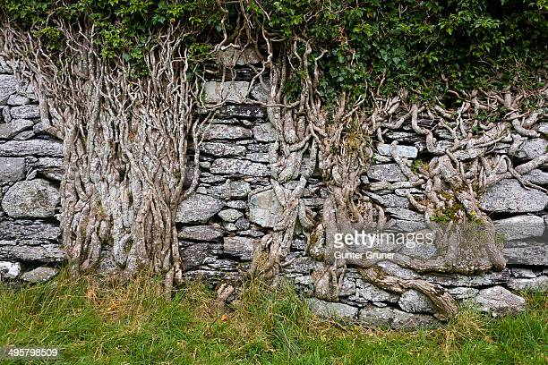 Old brick wall overgrown with ivy roots on Ballycarbery Castle, Ring of Kerry, Cahersiveen, County Kerry, Ireland