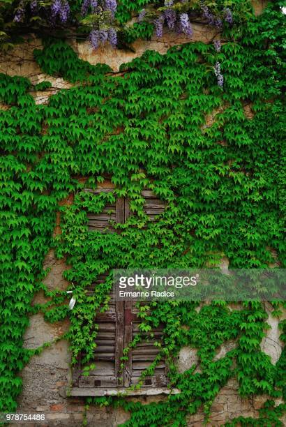 old building overgrown with ivy - edera foto e immagini stock