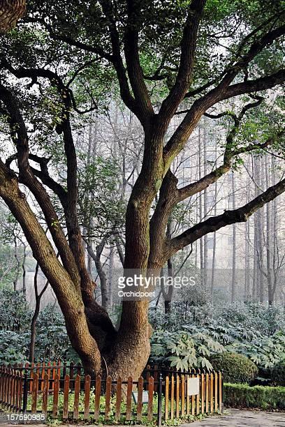 Old Kampferbaum