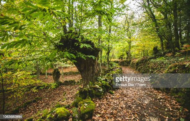 old chestnut tree on a hiking path in parada de sil, galicia - castanhas imagens e fotografias de stock