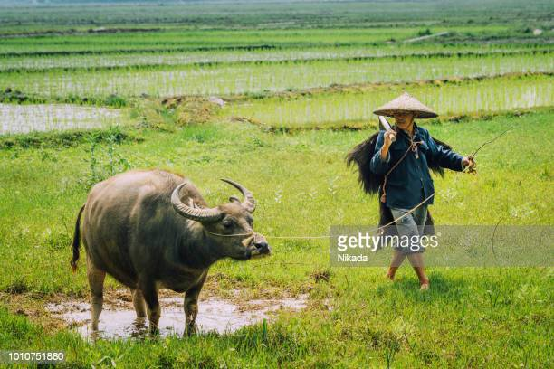 Old chinese farmer with water buffalo against rice field