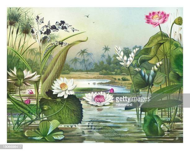 old chromolithograph illustration of botany, water plants - lithograph stock pictures, royalty-free photos & images