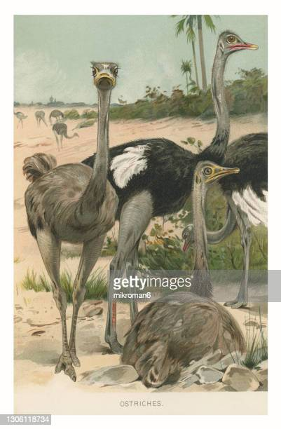 old chromolithograph illustration of common ostrich - lithograph stock pictures, royalty-free photos & images