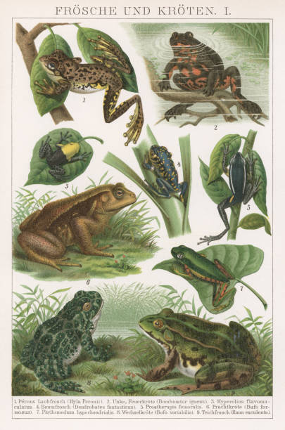 Old chromolithograph illustration of frogs and toads