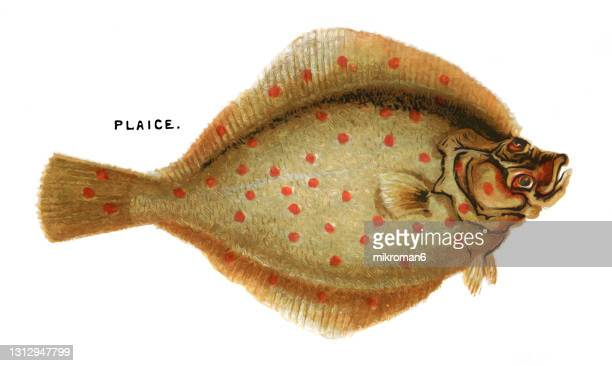 old chromolithograph illustration of ichthyology, plaice fish - zoology stock pictures, royalty-free photos & images