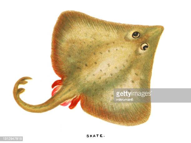 old chromolithograph illustration of ichthyology, skate fish - lithograph stock pictures, royalty-free photos & images