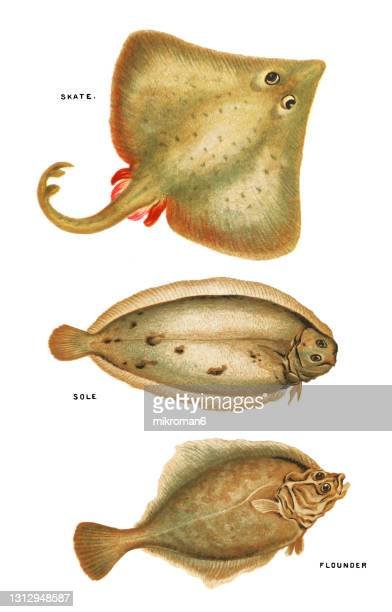 old chromolithograph illustration of ichthyology, skate fish, sole fish, flounder fish - lithograph stock pictures, royalty-free photos & images